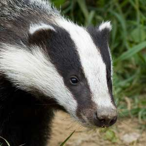 /pics/items/animals/Badger