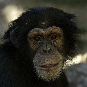 /pics/items/animals/Chimpanzee