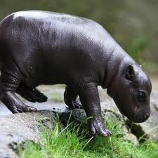 /pics/items/animals/Hippopotamus