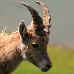 /pics/items/animals/Ibex