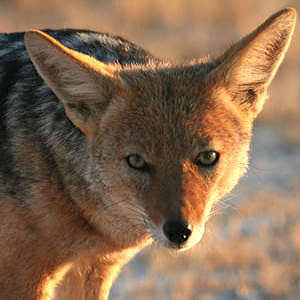 /pics/items/animals/Jackal