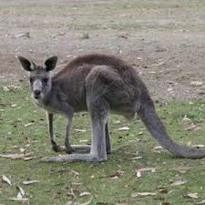 /pics/items/animals/Kangaroo