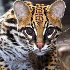 /pics/items/animals/Ocelot