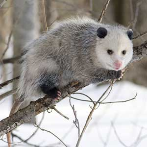/pics/items/animals/Opossum