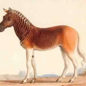 /pics/items/animals/Quagga