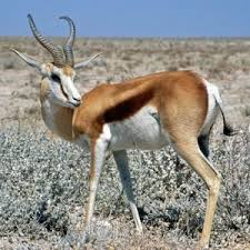 /pics/items/animals/Springbok