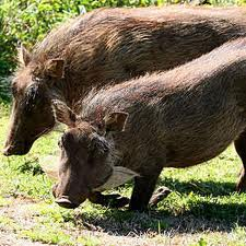 /pics/items/animals/Warthog